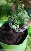 Der Plastiksack wird mit Tomaten bepflanzt