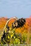 Sonnenblume im Herbstlicht