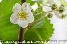 Erdbeer-Basilikum_030