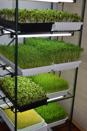 sprouts-and-microgreens-markito-nutrition