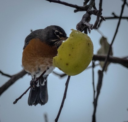 Robin eating an apple