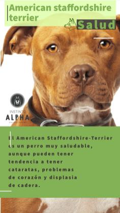 American Staffordshire La Salud 2