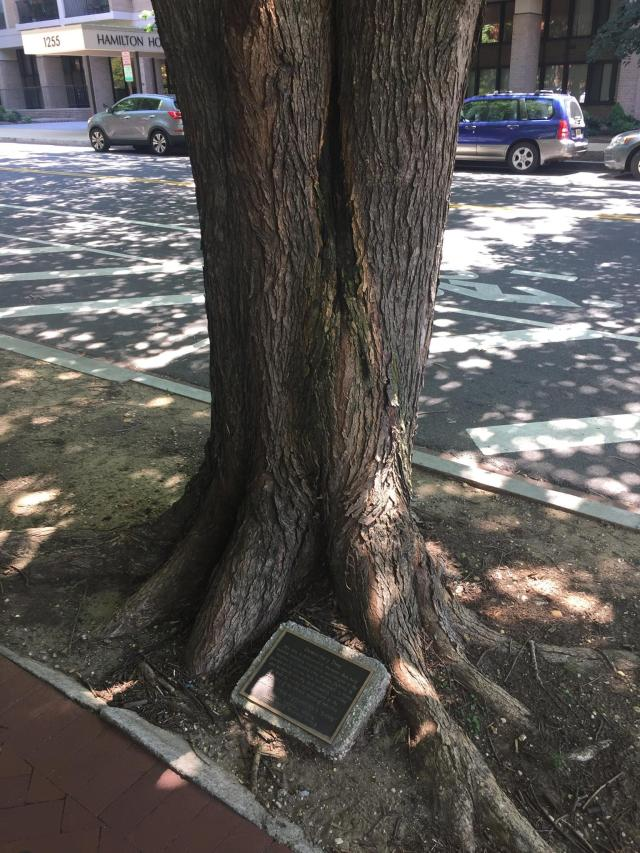 The massive trunk of the Democracy Tree with the accompanying plaque