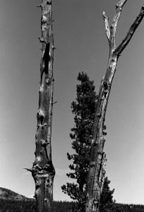 Dead Cedars and Pine, b&w, September 1984