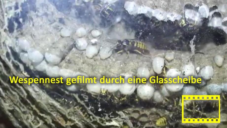 Wespennest gefilmt durch eine Glasscheibe
