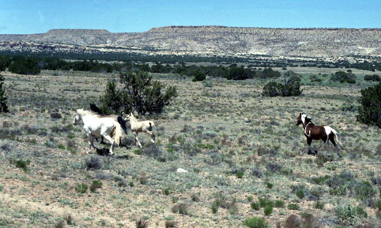 Wild horses in New Mexico -- June 1, 1990 -- photo by Mark Weber