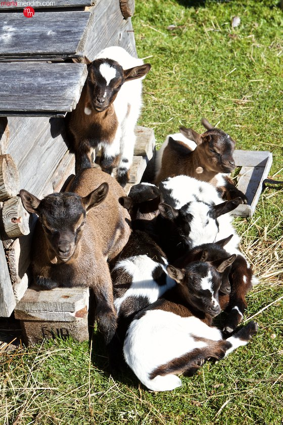 I fell in love with these baby goats in the Italian #Dolomites | MarlaMeridith.com ( @marlameridith ) #travel