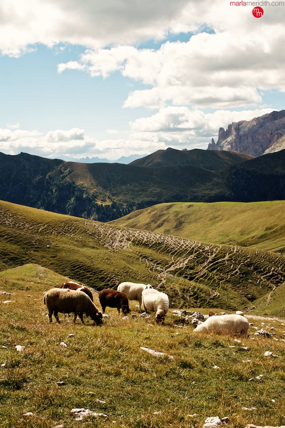 Sheep grazing in the Italian Dolomites, this is what you see when you hike there! MarlaMeridith.com ( @marlameridith )
