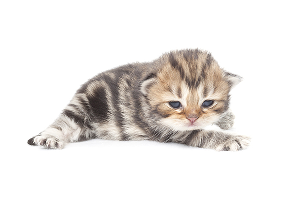 Britisch longhair kitten
