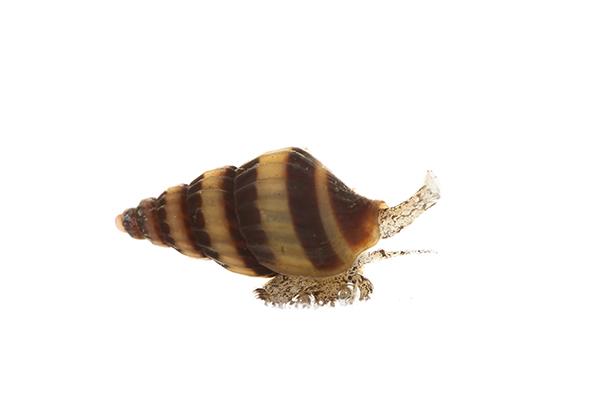 Clea helena