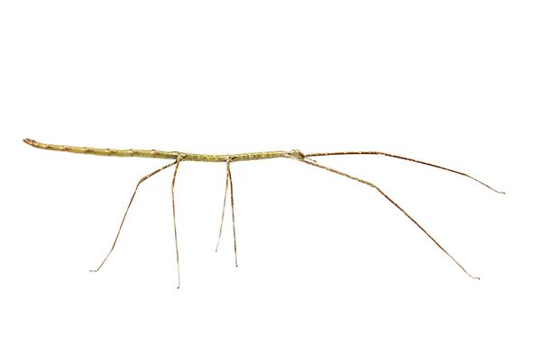 Ramulus nematodes