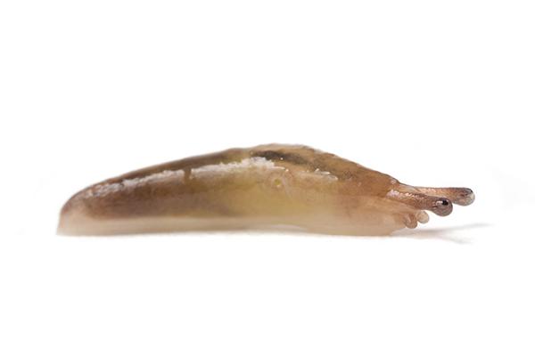 Ambigolimax valentianus