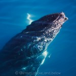Humpback Whale Close Up Rostrum Under the Surface Hervey Bay by Kristen MacDonald