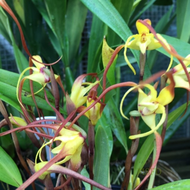 Conservatory Orchid 2
