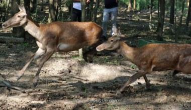 Ormanya ailesine 5 kızıl geyik katıldı