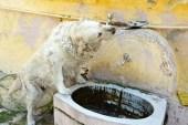 Bu köpek suyunu tas yerine çeşmeden içiyor