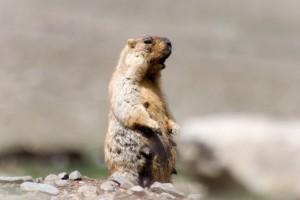 Marmota sibirica; в Монгольском Алтае, 2007. Фото О. Брандлера.