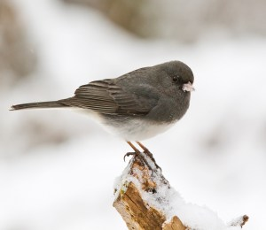 dark-eyed-junco-938546_1920