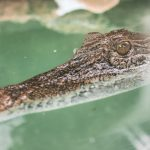Park Krokodyli na Langkawi