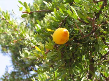1280px-Essaouira_arganier_fruit_(2)_1270