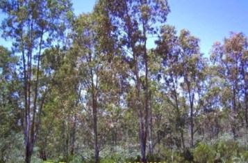 380544_eucalyptus-Maroc_03102010145307