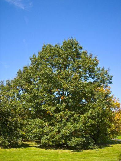 450px-Quercus_velutina_001