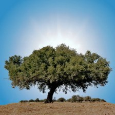 argan-tree_300