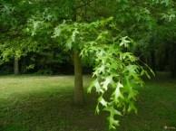 chene-tauzin-quercus-pyrenaica-visoflora-100356