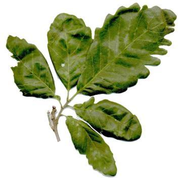 feuilles-q-canariensis