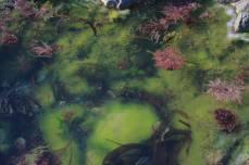 Les anémones d'Aurigny, fameuses entre toutes