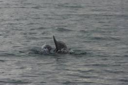 5-6 dauphins croisés aux Mainquiers