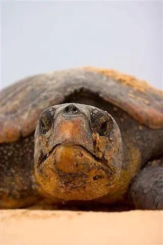 416 Giant turtle