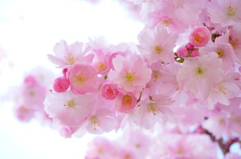 Sakura - cherry blossoms open and say yes to the bees to bear fruit