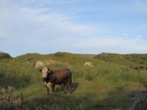 Biggest bull I've ever seen.