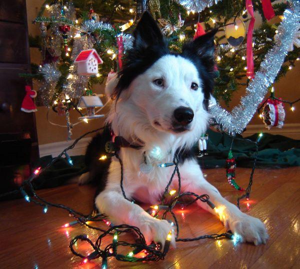 dog, christmas
