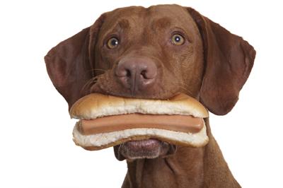 dog holding hot dog