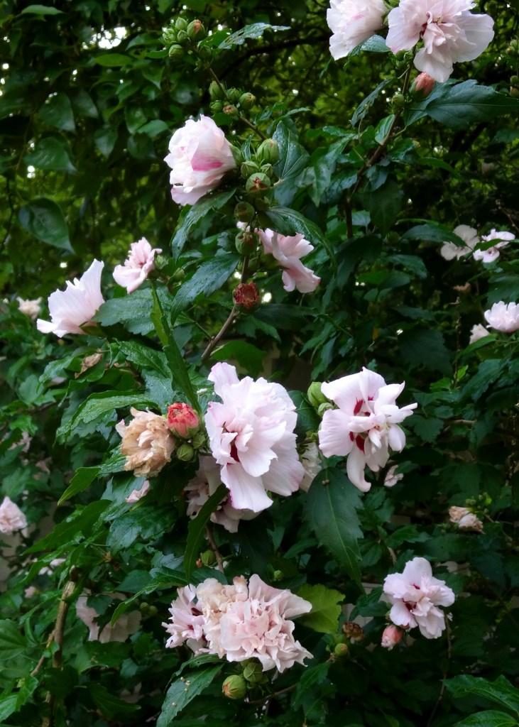 Rowan Oak