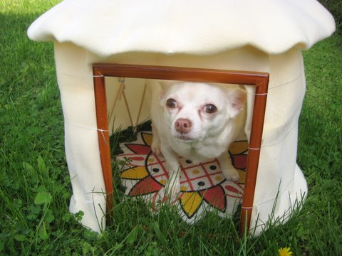 dog in yurt