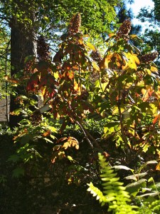 oakleaf hydrange