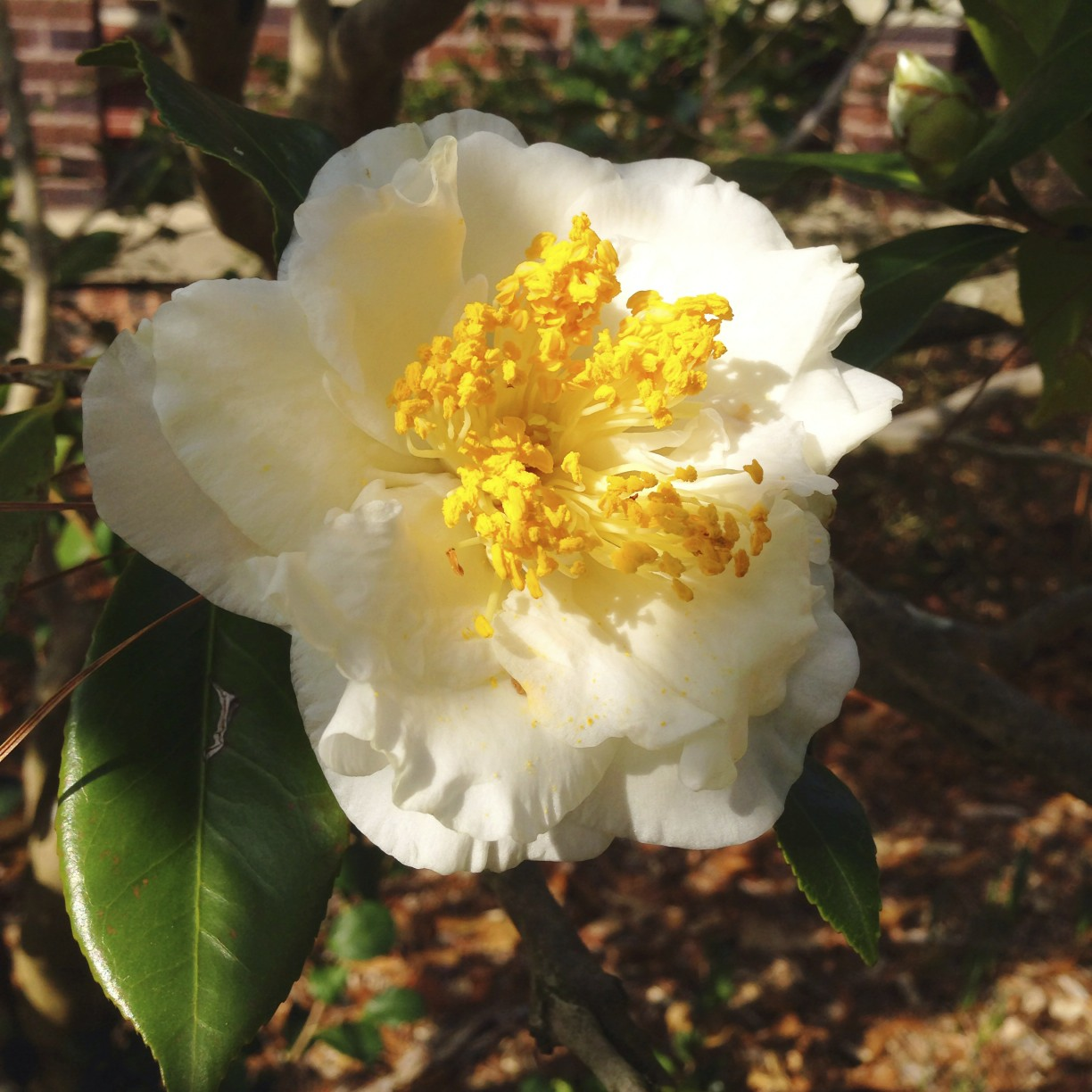 camellias in the Eudora Welty garden