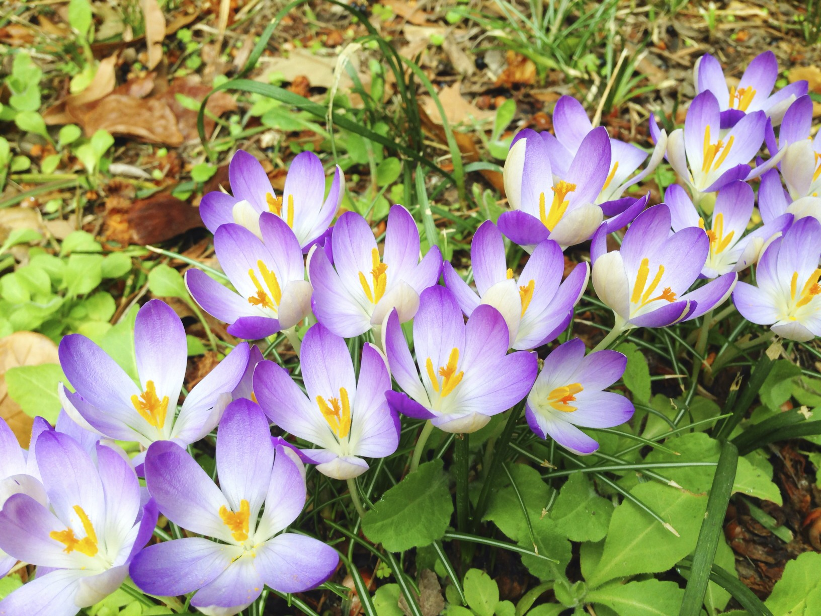 Crocus blooming in the Eudora Welty garden