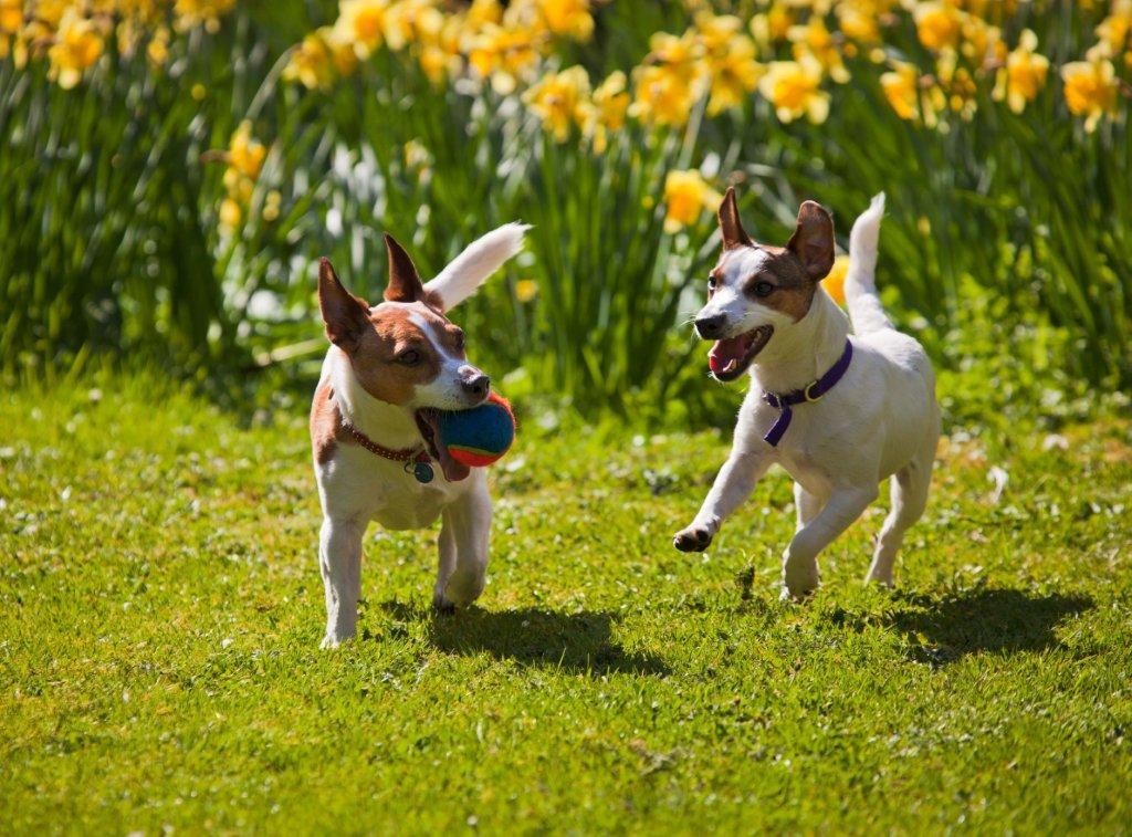 spring terriers