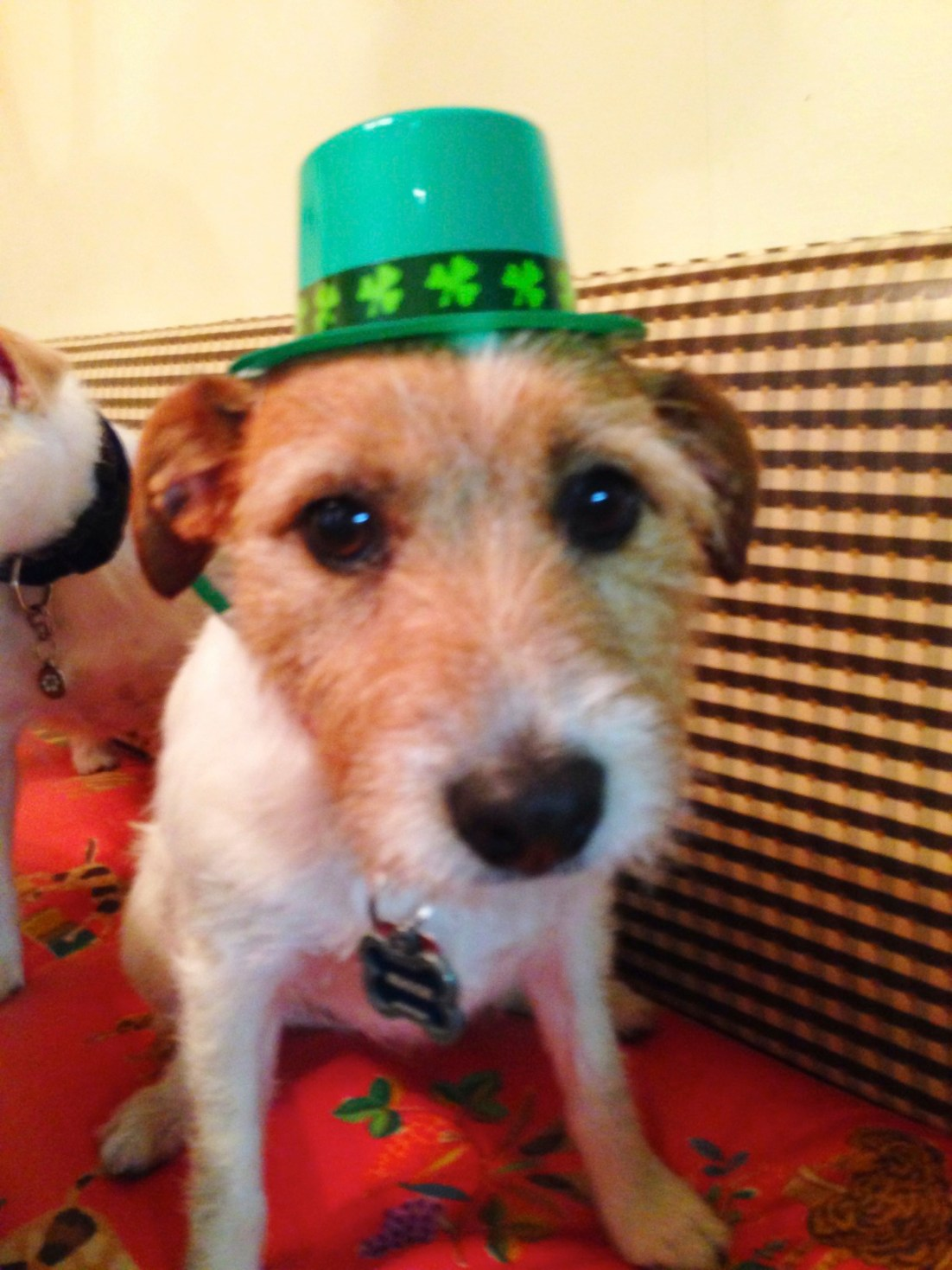 jack russell terrier wearing hat