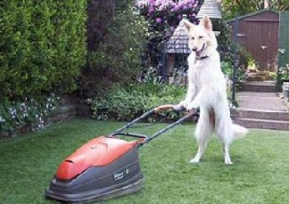 dog mowing_shepherd
