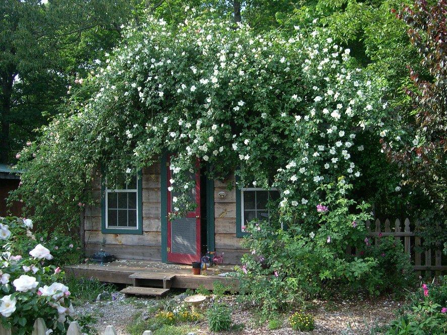 A silver moon rose covers this quaint buildingu2026