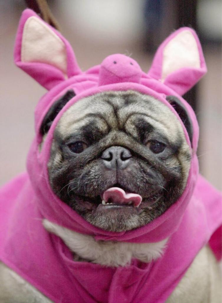 Dog Pig