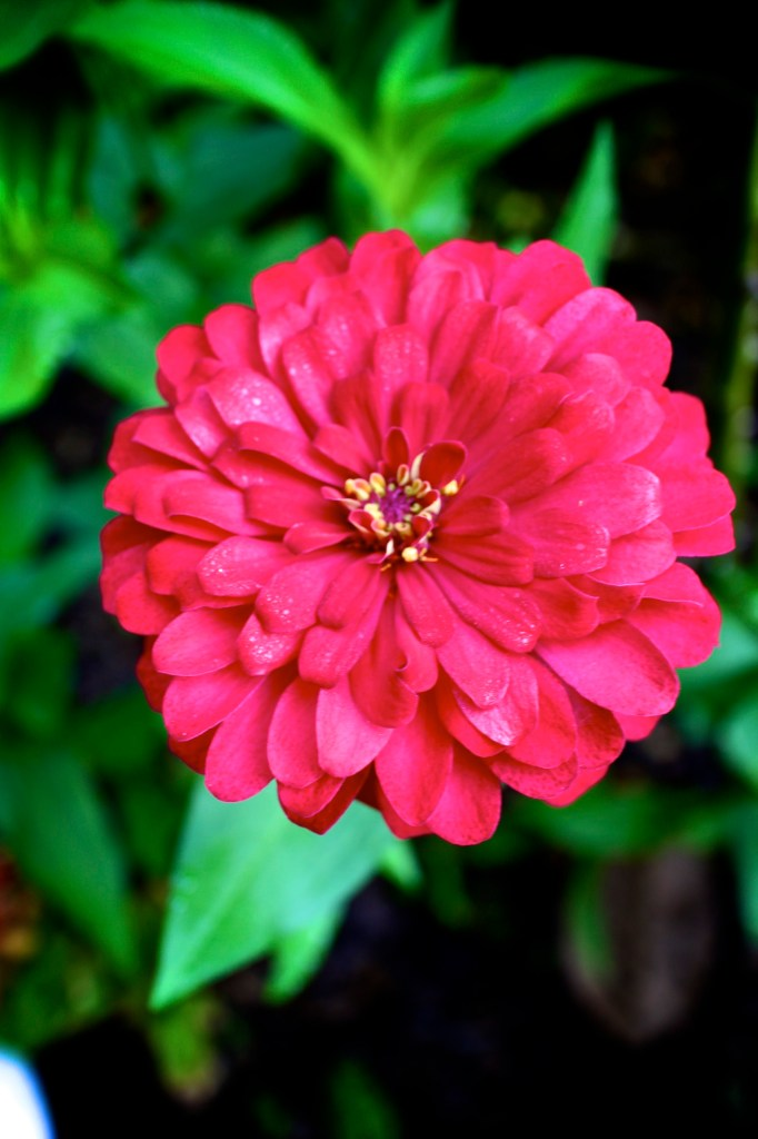 Flower of the month Zinnia