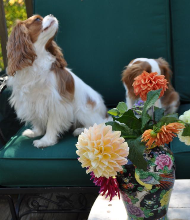 dog and dahlia