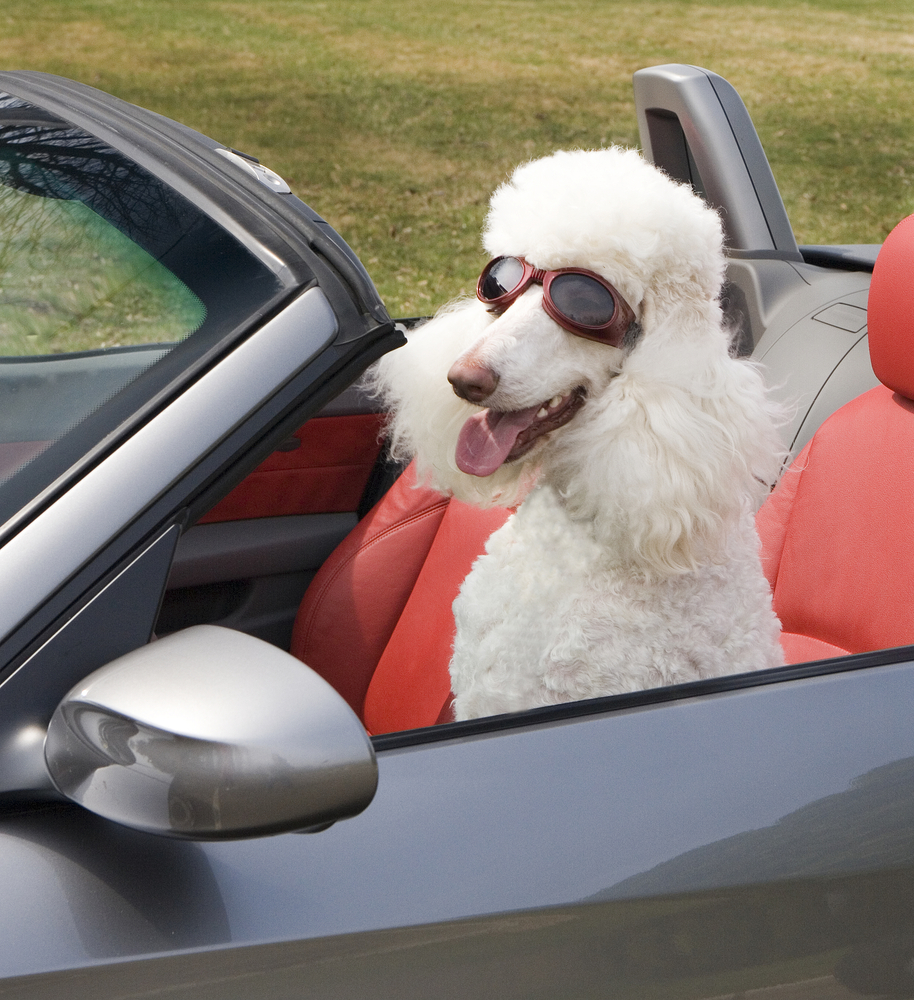 poodle in convertible