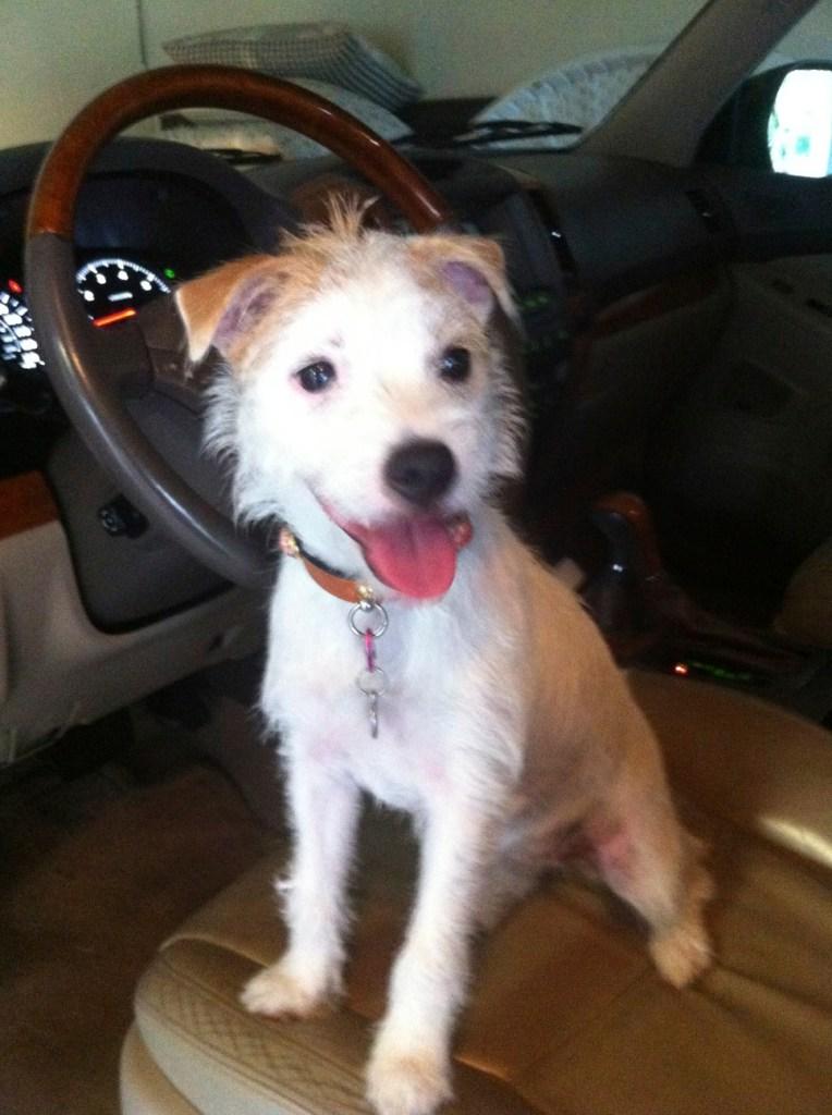 Cammie Jack Russell Terrier